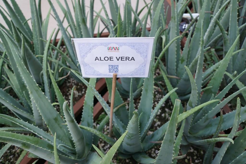 aloe-vera-920346_1920