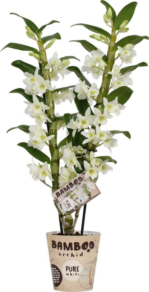 bamboe orchidee